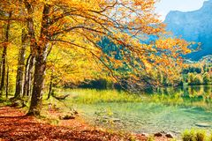 Yellow autumn trees on the shore of lake in Alps.