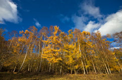 Yellow autumn trees on a sunny afternoon Royalty Free Stock Photo