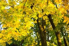 Yellow autumn trees royalty free stock photography