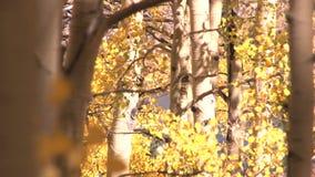Yellow autumn trees stock video footage