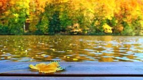 Yellow autumn trees and wooden bridge with maple leaf .Nature background. Autumn beech trees on the sun and wooden bridge. Fall blurred background royalty free stock image