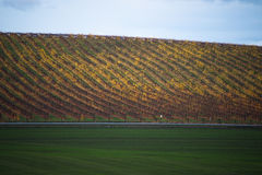 Yellow autumn vineyard beneath cloudy sky Stock Image