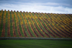 Yellow autumn vineyard beneath cloudy sky Royalty Free Stock Photography