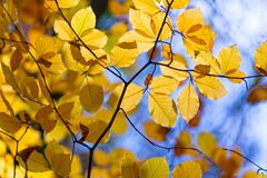 Yellow autumnal branches in a forest, blue sky. Background royalty free stock image