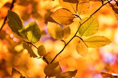 Yellow autumnal branches in a forest. Golden colrs stock photos