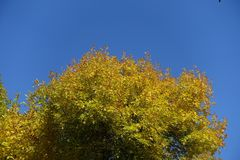 Yellow autumnal leafage of ash against blue sky. Yellow autumnal leafage of ash against the sky Royalty Free Stock Photo