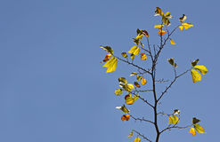 Yellow autumnal leaves against blue sky Stock Photo
