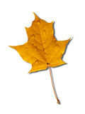 Yellow autumnal maple leaf Stock Photos