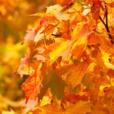 Yellow autumnal maple leaves Royalty Free Stock Image