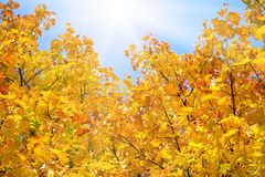 Yellow autumnal maple leaves background Royalty Free Stock Image