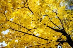Yellow autunm tree stock image