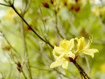 Yellow azalea in the botanical garden royalty free stock images