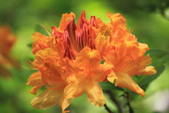 Yellow Azalea Flower Royalty Free Stock Photography