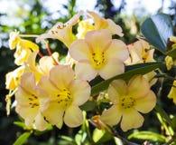 Yellow Azalea flower Stock Photos