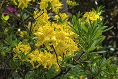 Yellow azalea flowers stock image