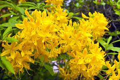 Yellow azalea flowers. Royalty Free Stock Image