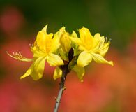 Yellow azalea Stock Photos