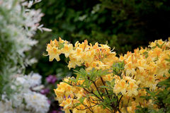 Yellow azalea, Rhododendron bush in blossom Royalty Free Stock Photography