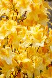 Yellow azalea rhododendron flowers in full bloom Royalty Free Stock Photo