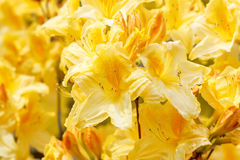 Yellow azalea rhododendron flowers in full bloom Royalty Free Stock Image