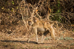 Yellow baboon Stock Photos