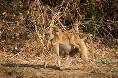 Yellow baboon. Wild yellow baboon with baby, South Luangwa, Zambia stock photos