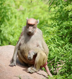 Yellow Baboon Royalty Free Stock Photo