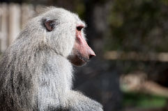 Yellow baboon. Papio cynocephalus. It is a baboon from de Old World monkey familiy. It inhabits savannas and light forests in the eastern Africa stock image