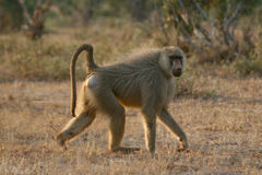 Yellow Baboon Stock Photo