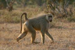 Yellow Baboon stock photo