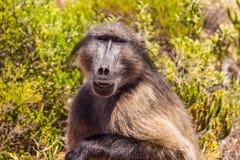 Yellow baboon. An adult yellow baboon, Papio Cynocephalus royalty free stock image