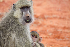 Yellow baboon with baby royalty free stock image