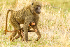 Yellow Baboon Royalty Free Stock Photography