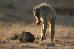 Yellow baboon foraging. Yellow baboon looking for insects among elephat dung Stock Images
