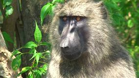 Yellow baboon looks around stock video footage
