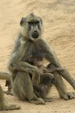 Yellow baboon mother and infant stock images