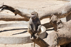 Yellow baboon (Papio cynocephalus) Royalty Free Stock Photos