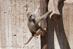 Yellow baboon (Papio cynocephalus) Royalty Free Stock Images