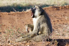 Yellow baboon (Papio cynocephalus). Cynocephalus literally means dog-head in Greek due to the shape of its muzzle and head. It has a slim body with long arms royalty free stock photography