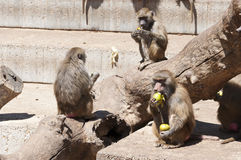 Yellow baboon (Papio cynocephalus). It is a baboon from de Old World monkey family. It inhabits savannas and light forests in the eastern Africa stock images