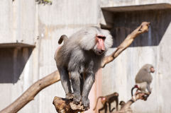 Yellow baboon, Papio cynocephalus. It is a baboon from de Old World monkey familiy. It inhabits savannas and light forests in the eastern Africa stock image