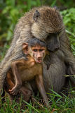 Yellow Baboon - Papio cynocephalus, Kenya, Africa. Yellow Baboon female with her baby Stock Images