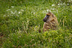 Yellow Baboon - Papio cynocephalus, Kenya, Africa. Yellow Baboon hidden in the meadow Stock Images