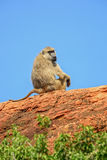 Yellow Baboon - Papio cynocephalus, Kenya, Africa. Yellow Baboon male on the top of the rock Stock Images