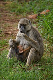 Yellow Baboon - Papio cynocephalus, Kenya, Africa. Yellow Baboon mother feeding newborn Royalty Free Stock Images