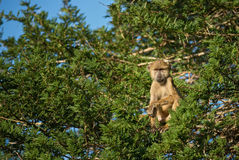 Yellow Baboon - Papio cynocephalus, Kenya, Africa. Yellow Baboon relaxing morning in the tree Royalty Free Stock Photos