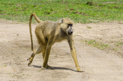 Yellow baboon Stock Photography