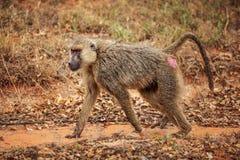 Yellow baboon Papio cynocephalus walking on savanna. Amboseli. National park, Kenya stock image