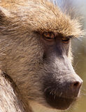 A Yellow Baboon´s look. This close-up of a Yellow Baboon´s (Papio cynocephalus) face, reminds us of the genetic proximity of this species to human beings royalty free stock images