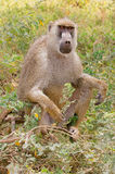 Yellow baboon sitting. A yellow baboon (Papio cynocephalus) sitting, Amboseli National Park, Kenya stock photos